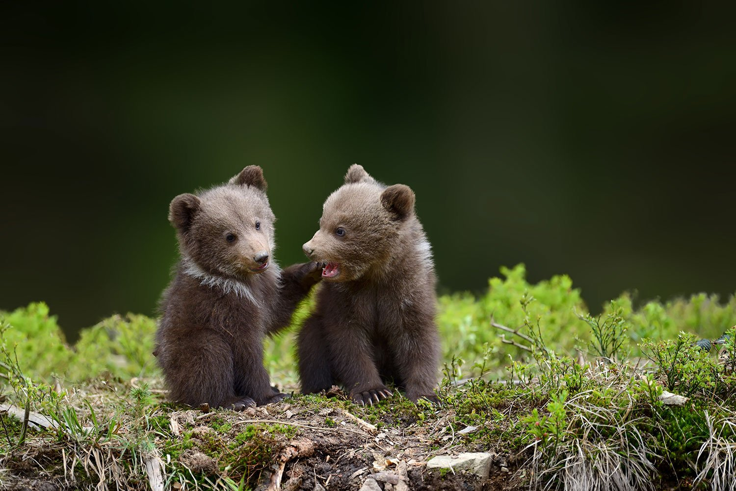 Bear-Cubs-1500pxLow