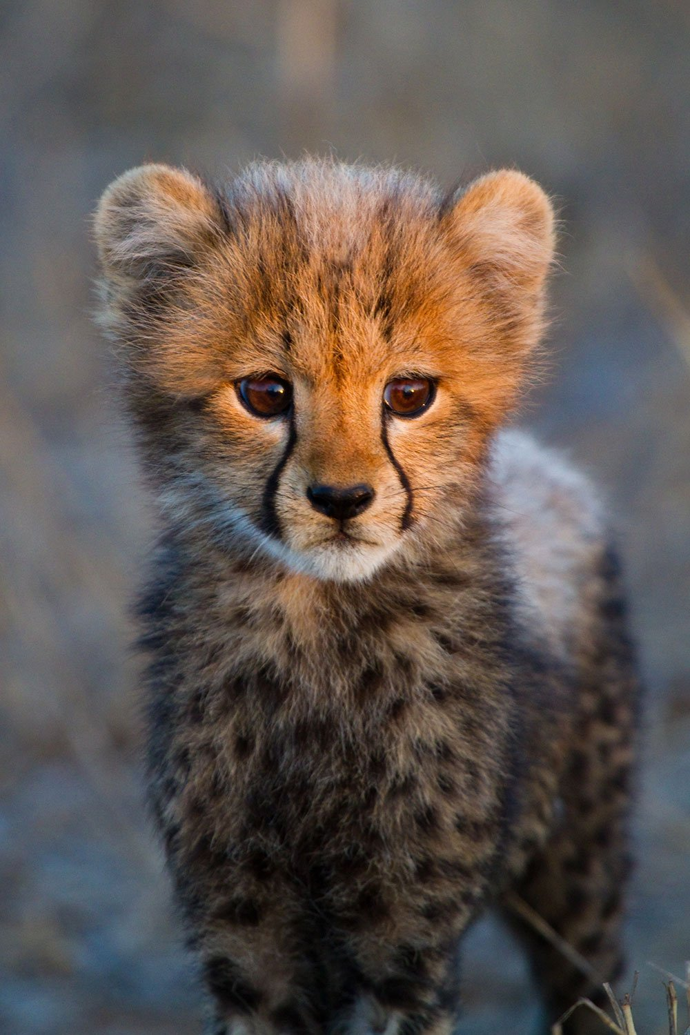 Cheetah-Cub-1500pxLow