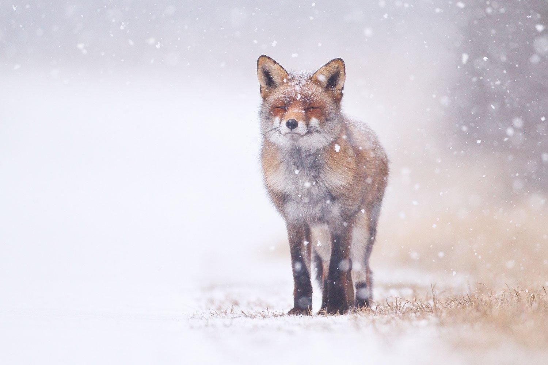 Fox-1500pxLow