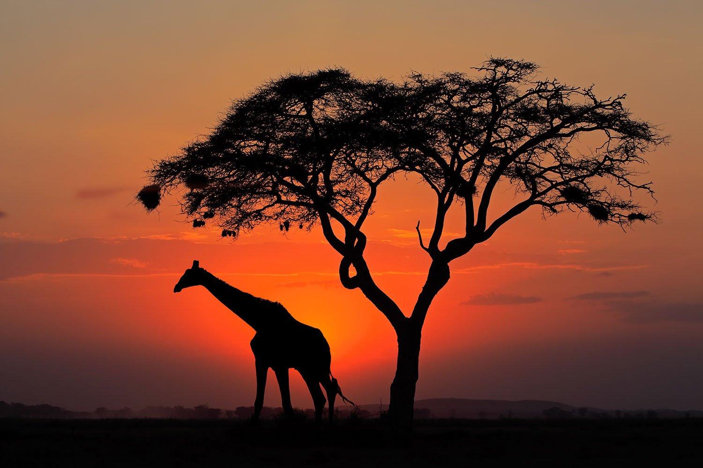Giraffe-1500pxLow