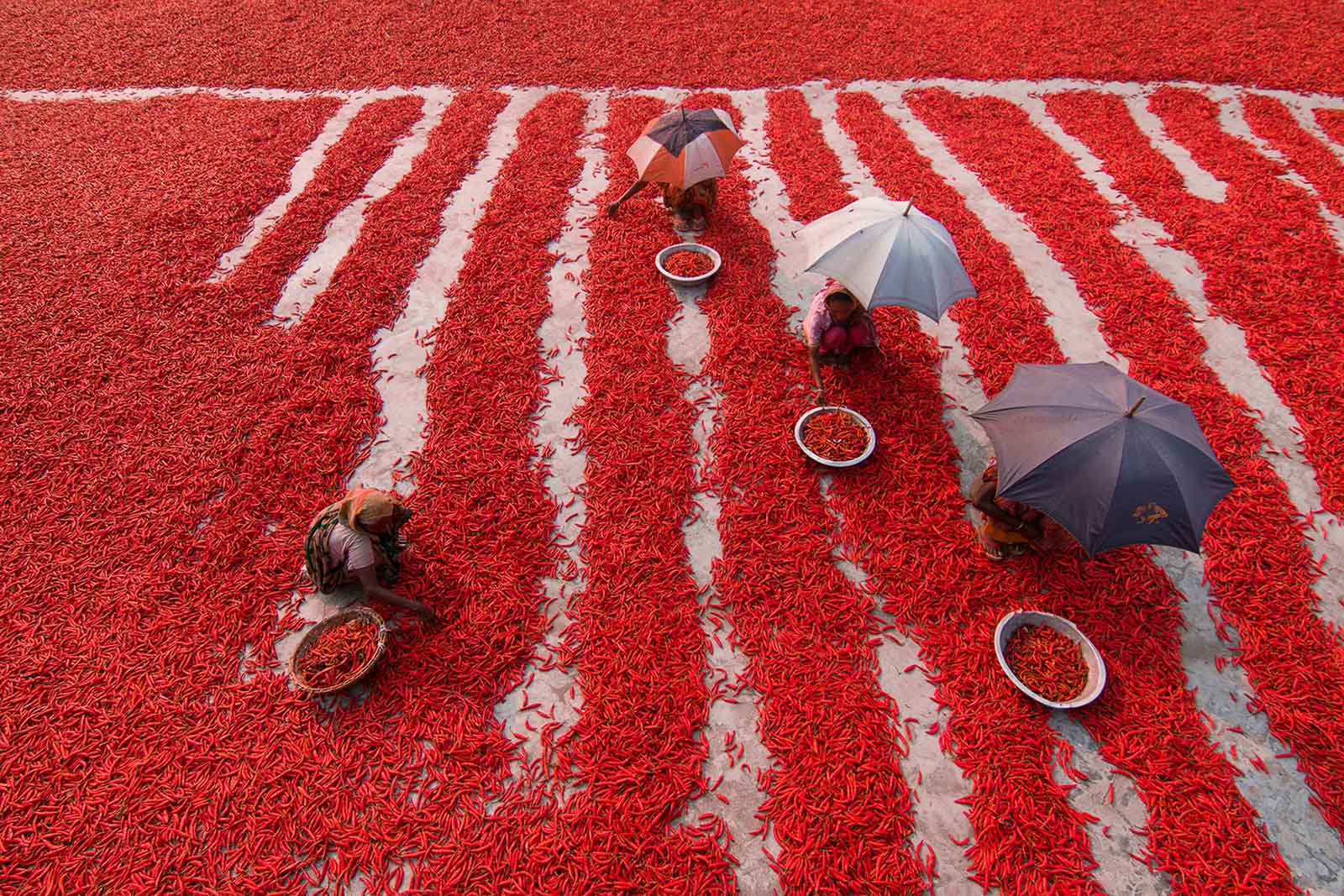 Red Chilies Pickers by Azim Khan Ronnie