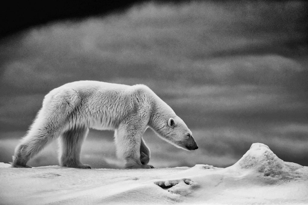 Polar Bear in Black and White